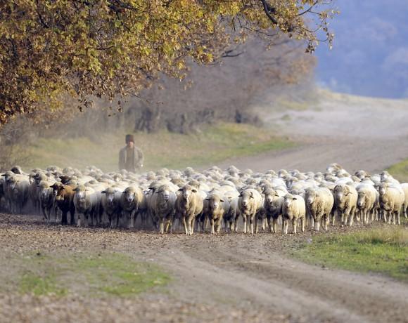 Măsuratul oilor